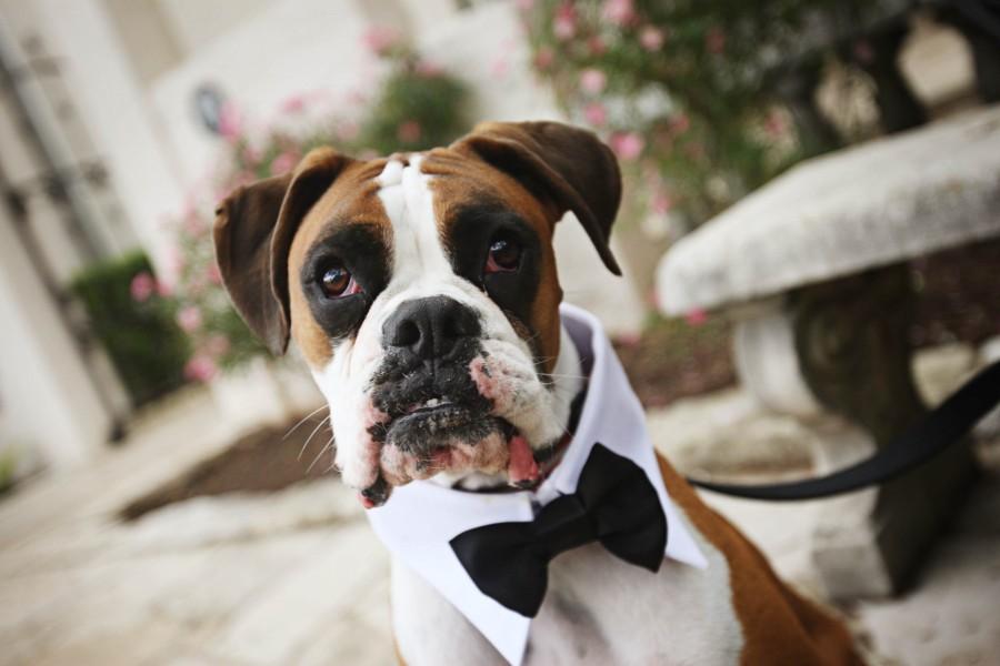 cane alle nozze